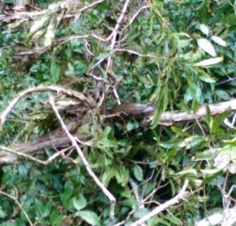 Anaconda in a tree