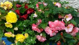 Gorgeous begonias